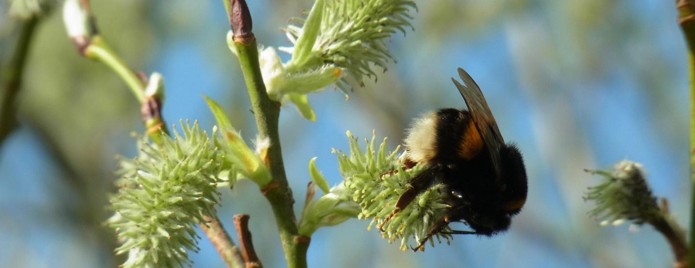 Biene auf Weide, Seite Vorträge