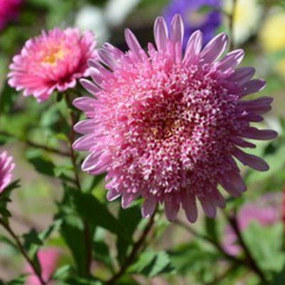 Gartenaster