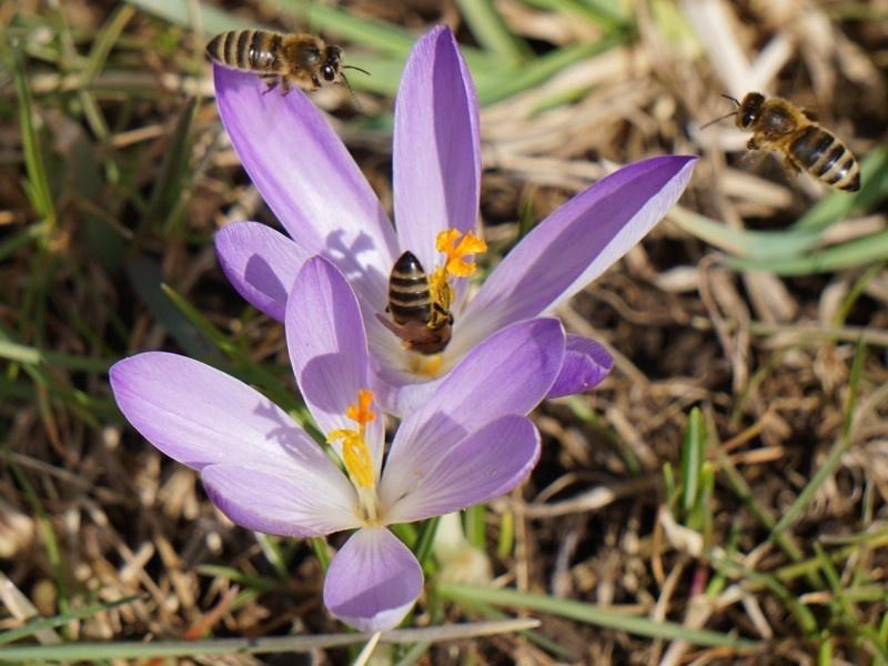 Krokusblüte mit Bienen